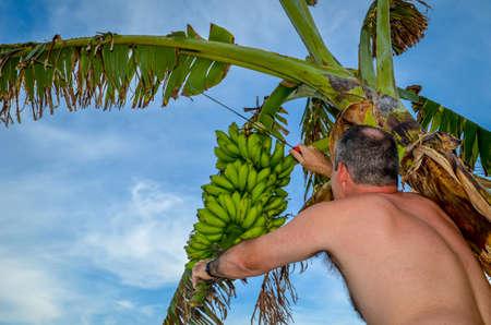 cutting: cutting bananas Editorial