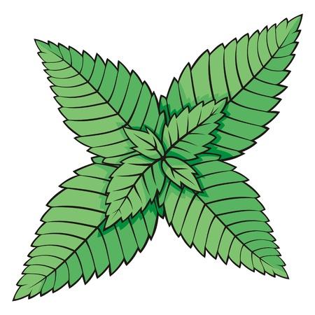 Hojas de menta verde ilustración sobre fondo blanco.