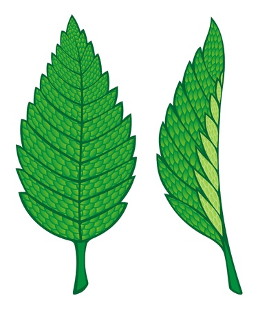 Two green mint leaves illustration isolated on white background.