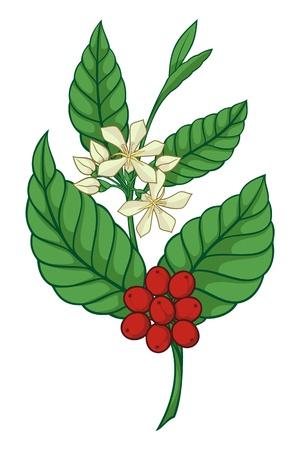 arbol de cafe: Una rama de �rbol coffea aisladas sobre fondo blanco.