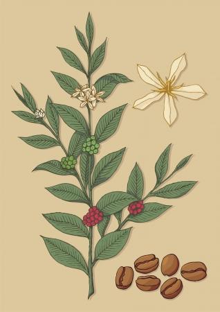 arbol de cafe: Una rama de árbol con flores de café y los frijoles en el fondo beige.