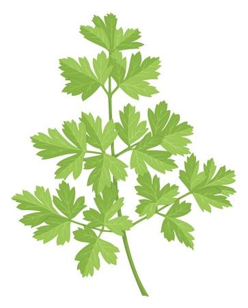 Een stam van peterselie met groene bladeren op een witte achtergrond.