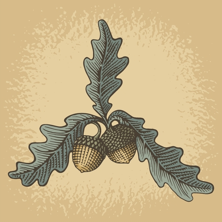 Hand drawn acorns and oak leaves with woodcut shading on grunge beige