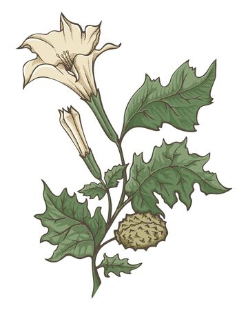 Colored ink sketch of Datura stramonium. Flowers, leaves and ripe fruit. Pointillism shading technique.  イラスト・ベクター素材