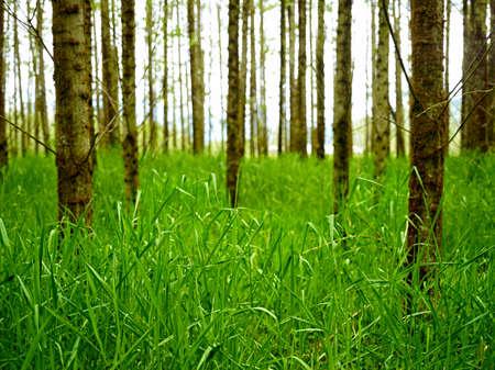 poplars: Grass among the Poplars