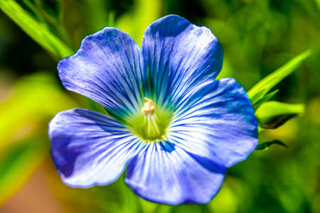 linum: Flax, Linum perenne Stock Photo