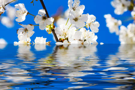 Cherry Blossoms with reflection in water, with sun and blue sky Stock Photo