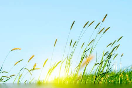 Flowering grass in detail - Allergens - Allergy in Germany
