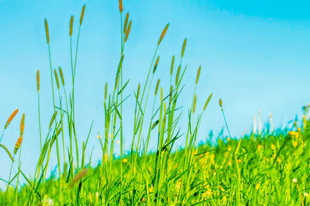 Flowering grass in detail - Allergens - Allergy in Germany