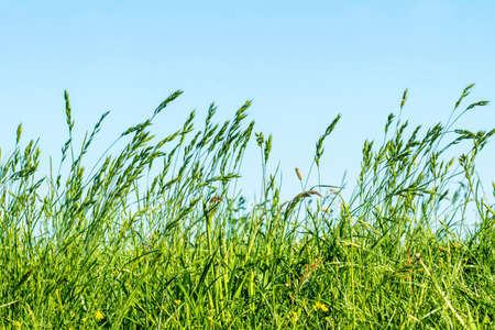 Meadow, grasses on a dyke on the river Elbe in Germany Stockfoto