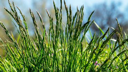 Flowering grass in detail - Allergens - Allergy Stock Photo