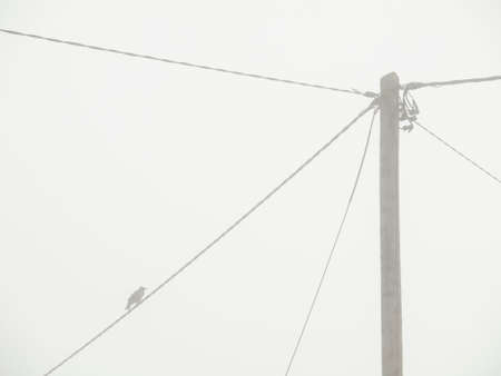 lonely bird: A lonely bird sits on a power pole in the fog