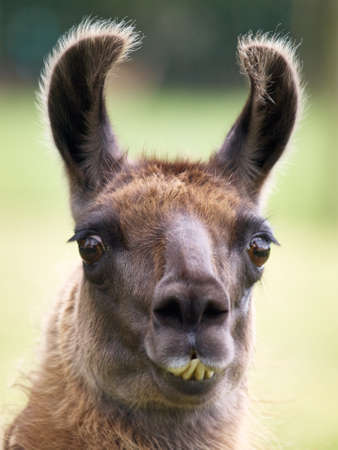 yellow teeth: Portrait of a funny looking Llama with yellow teeth and big brown eyes Stock Photo
