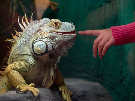 tries: A child tries to touch an Iguana with turquoise scales Stock Photo