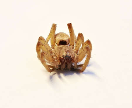 arachnophobia animal bite: Close up of a dead spider with big mandibles Stock Photo