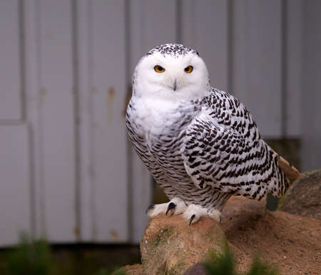 snowy owl: Snowy owl sitting on a rock watching the surroundings