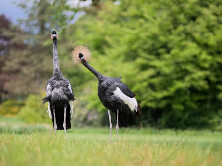 spectator: Two curious crown cranes standing on a green meadow are watching their spectator.