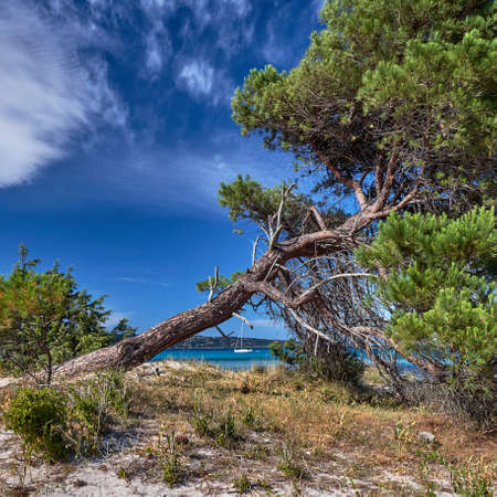 A pine tree at Pinarello beach in the south of Corsica