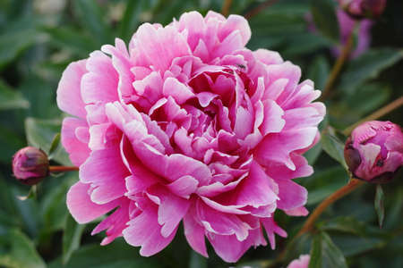 georgeous: Georgeous peony in a full bloom