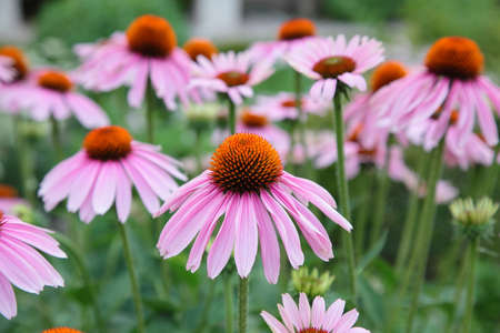 Pink Echinacea flowers photo