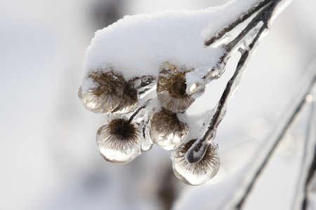 encapsulated: Arctium after the frozen rain Stock Photo