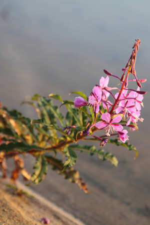 Rosebay Willowherb or Fireweed (Chamerion angustifolium) flowers photo
