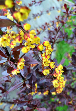 barberry: Yellow flowers of a barberry.