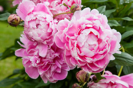 Gorgeous pink peonies in a full bloom photo