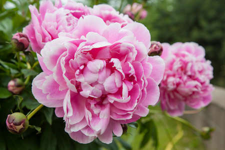 Gorgeous pink peonies in a full bloom