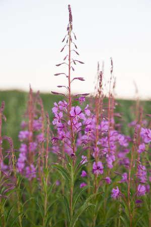 angustifolium: Field of Rosebay Willowherb or Fireweed (Chamerion angustifolium)