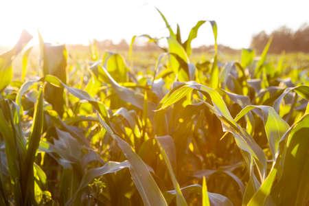 corn flower: Corn field at the sunset