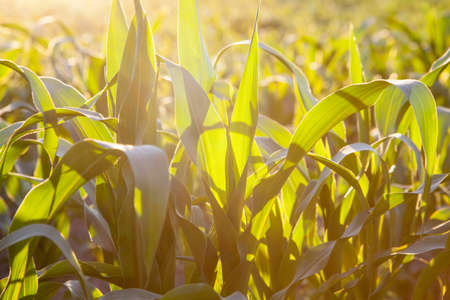 non cultivated land: Corn field at the sunset