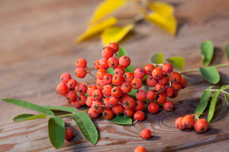 ash berry: Rowan berries and leaves on wooden boards
