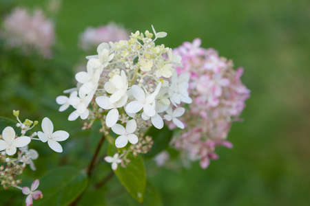 White and hydrangea flowers in the garden photo