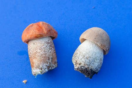 boletus mushroom: Fresh boletus mushroom on blue background Stock Photo