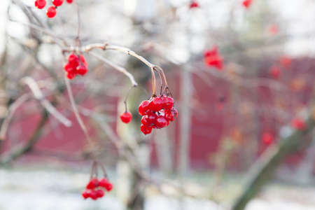 Red berries of Viburnum covered with ice after frozen rain in the winter photo