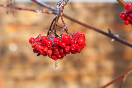 Rowan berries covered with ice after the frozen rain in the winter photo
