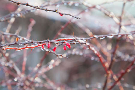 encapsulated: Barberry branches glazed with ice sparkling on the sun