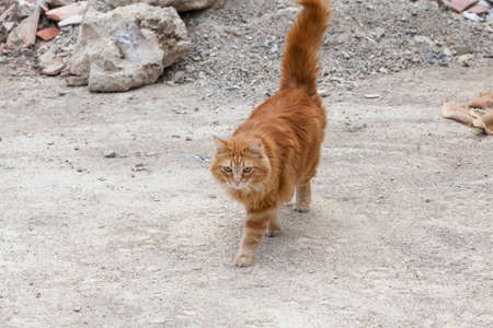 Red cat walking outdoors photo