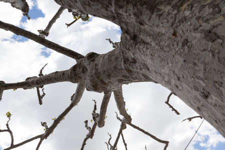 sycamore: Looking up at a big sycamore tree in spring