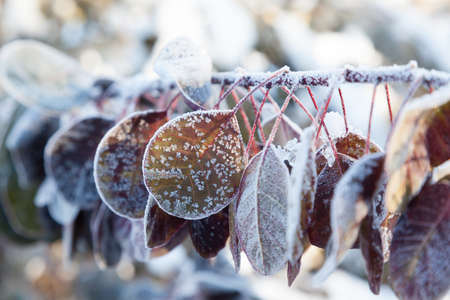 frost winter: Green and purple leaves covered with morning frost Stock Photo