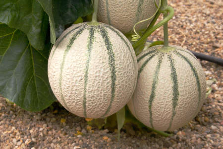 Close-up of cantaloup type melon in greenhouse