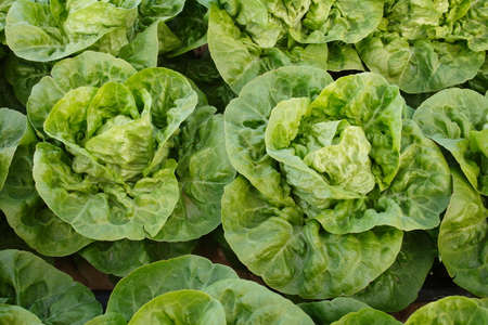 Partial view of a Littel Gem lettuce crop ready to harvest Stok Fotoğraf - 130016060