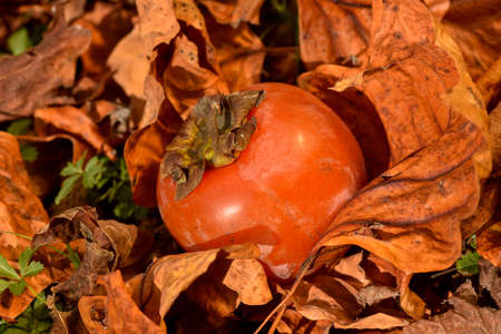 one beautiful ripe persimmons fruit wrapped in leaves, warm light outside Reklamní fotografie