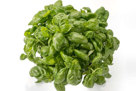 basil from genoa in a bunch of fresh tender green leaves isolated on the white