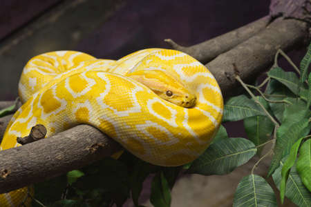 Snake, Close up of Golden Thai Python, focus at eyes Stock Photo
