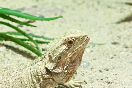 little lizard, Bearded Dragons in yellow lighting photo