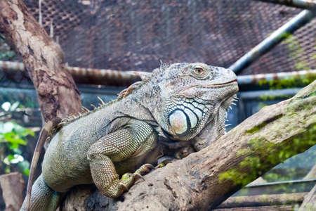 lizard, iguana on the tree photo