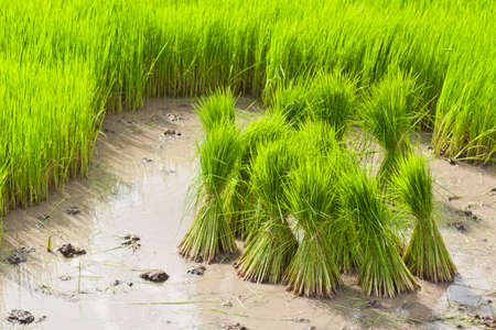 Sprout, Thai Rice field photo