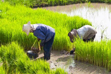 Farmer in rice field, Thailand photo